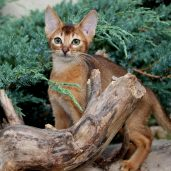 Абиссинские котята окрас дикий
