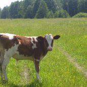 Закупаем, молодняк крс,(бычки, тёлочки) 50-150 кг.